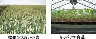 粒張りの良い小麦とキャベツの育苗