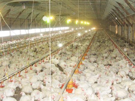 臭いも少なく、舎内の鶏もおとなしい
